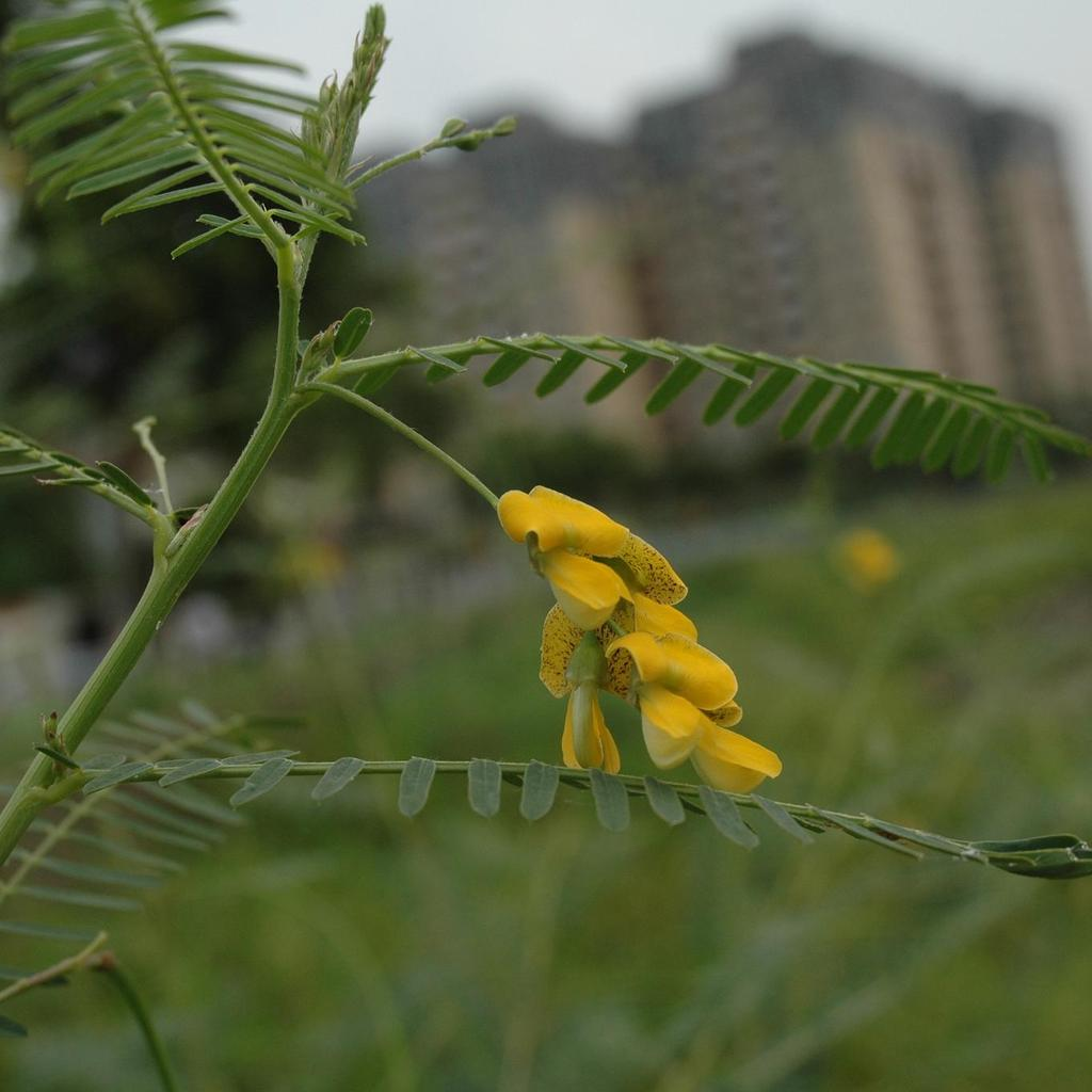 Sesbania planter et cultiver ooreka for Plante 7 folioles