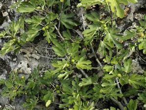 Semis et plantation de figuier