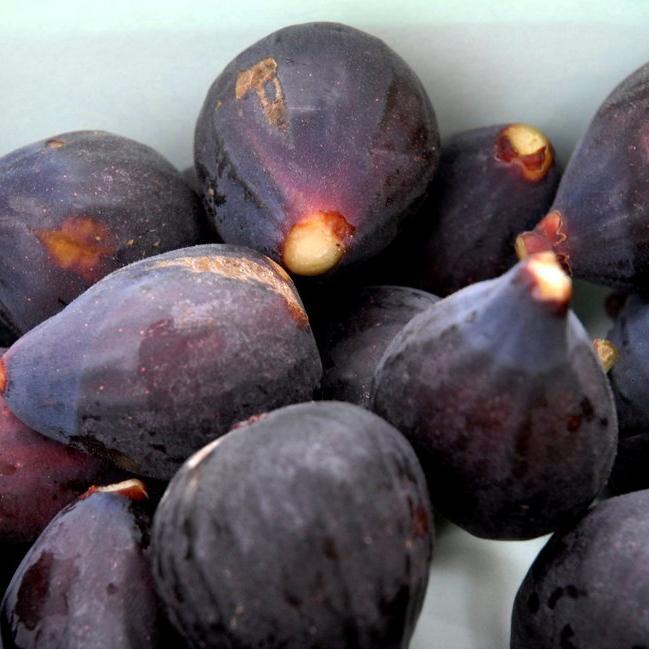 Figuiers unifères 'Pastilière' ou 'Rouge de Bordeaux'