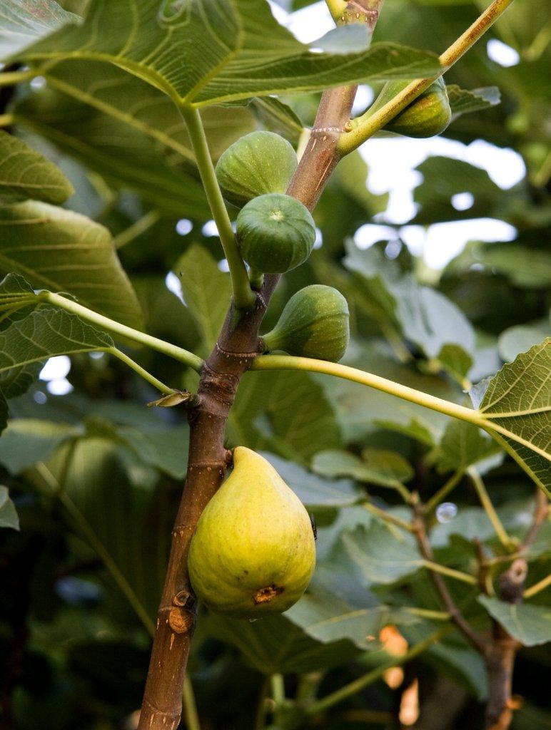 figuier : planter et tailler – ooreka