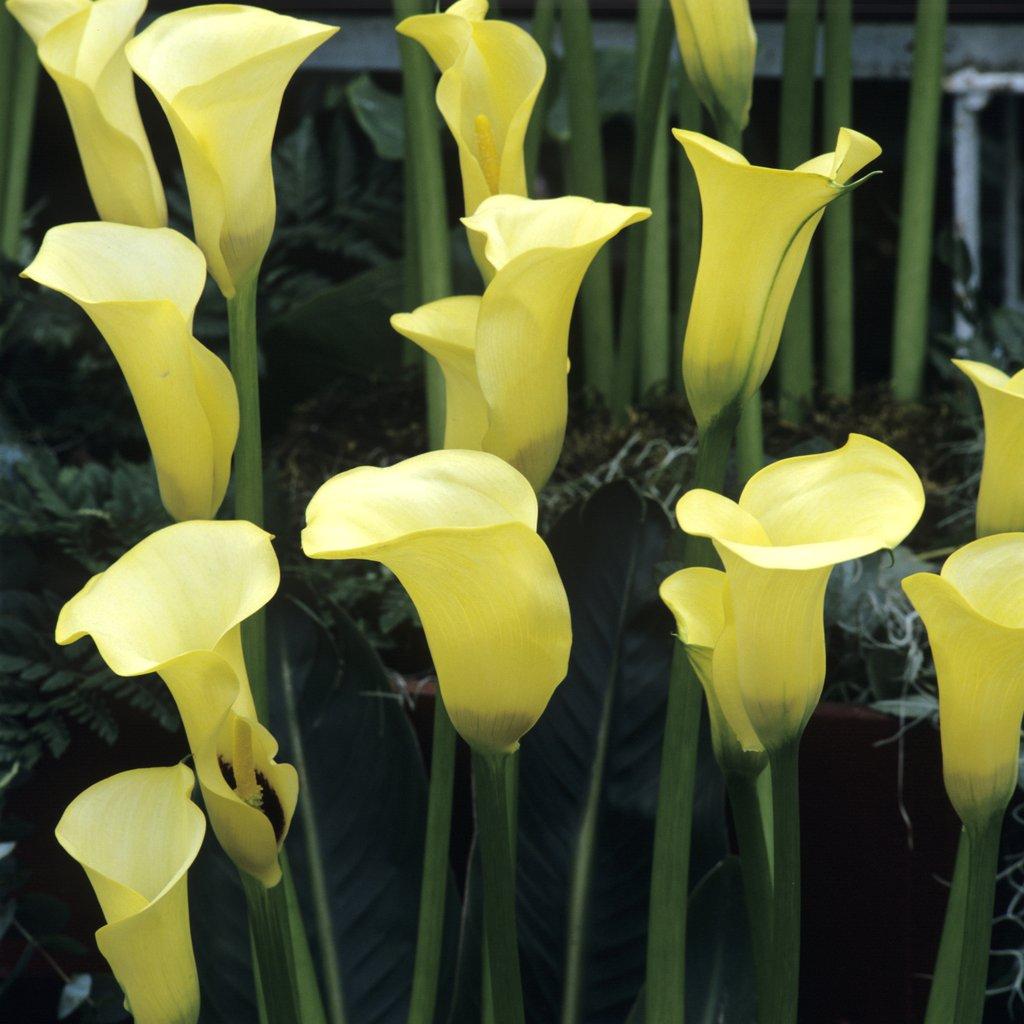 Arum planter et entretenir ooreka - Interieur d une fleur ...