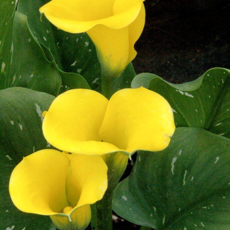 Arum maculé (Zantedeschia albomaculata)