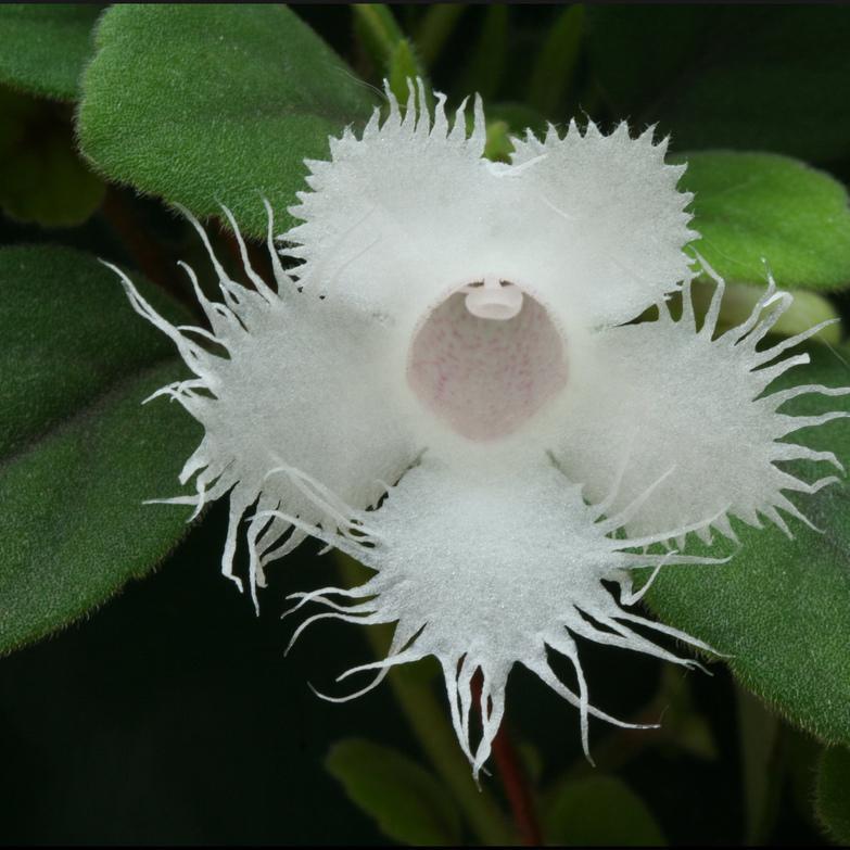 Espèces Episcia dianthiflora