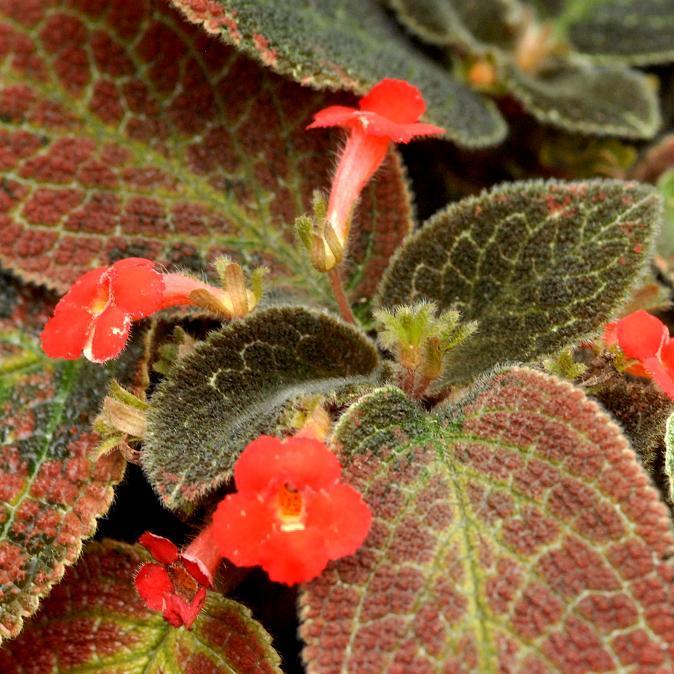 Espèces Episcia cupreata ou splendens
