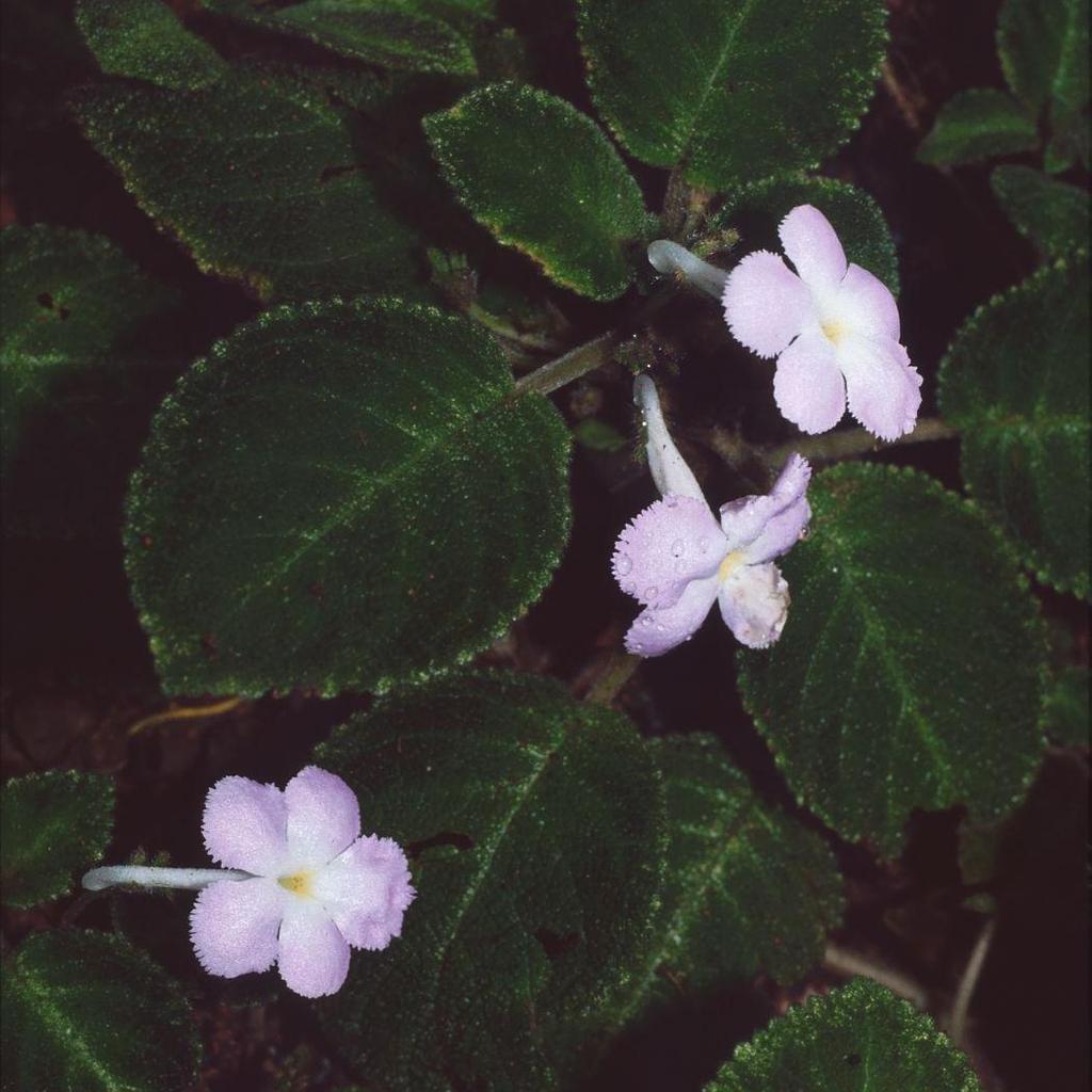 Espèces Episcia lilacina