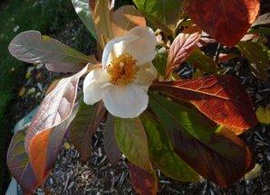 Plantation de <em>Franklinia alatamaha</em>