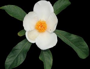 Culture et entretien de <em>Franklinia alatamaha</em>