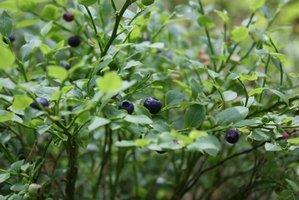 Plantation du myrtillier