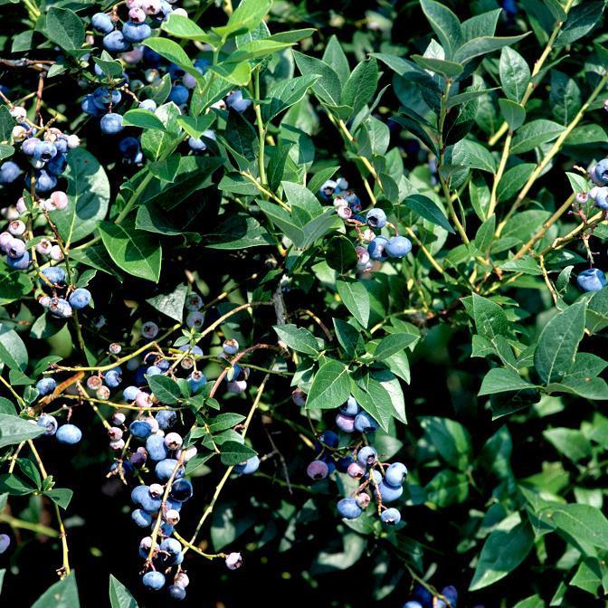Les myrtilles arbustives à grand développement et peu exigeantes en froid Vaccinium ashei 'Climax'