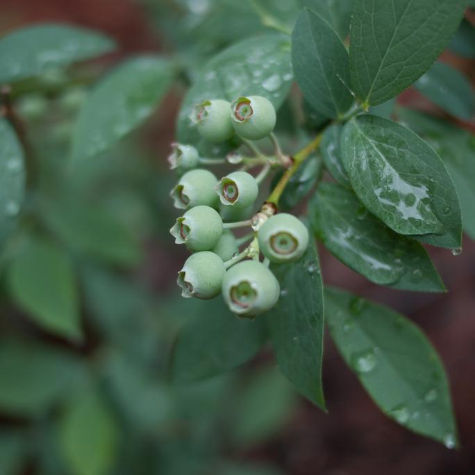 Les myrtilles arbustives à grand développement et peu exigeantes en froid Vaccinium ashei 'Brightwell'
