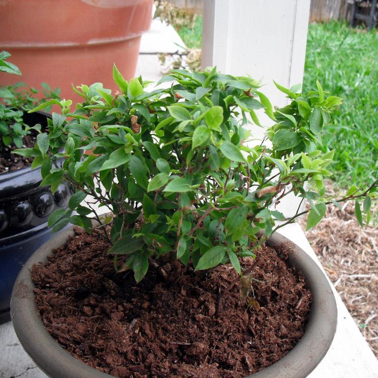 Les myrtilles arbustives à grand développement et peu exigeantes en froid Vaccinium ashei 'Austin'