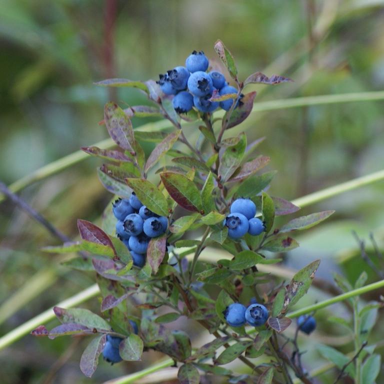 Les myrtilles arbustives à grand développement et exigeantes en froid Vaccinium corymbosum 'Bluecrop'
