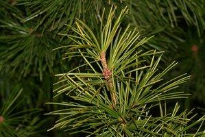 Plantation de <em>Sciadopitys verticillata</em>