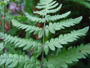 Multiplication de <em>Thelypteris palustris</em>