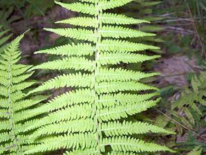 Plantation de <em>Thelypteris palustris</em>