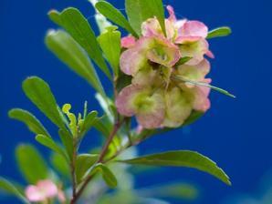 Plantation du <em>Dodonea viscosa</em>