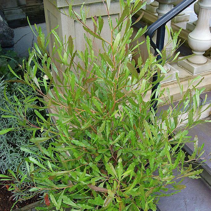 Dodonea viscosa: dodonée visqueuse pourpre. 'Purpurea'