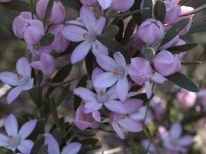 Plantation de <em>Eriostemon myoporoides</em>