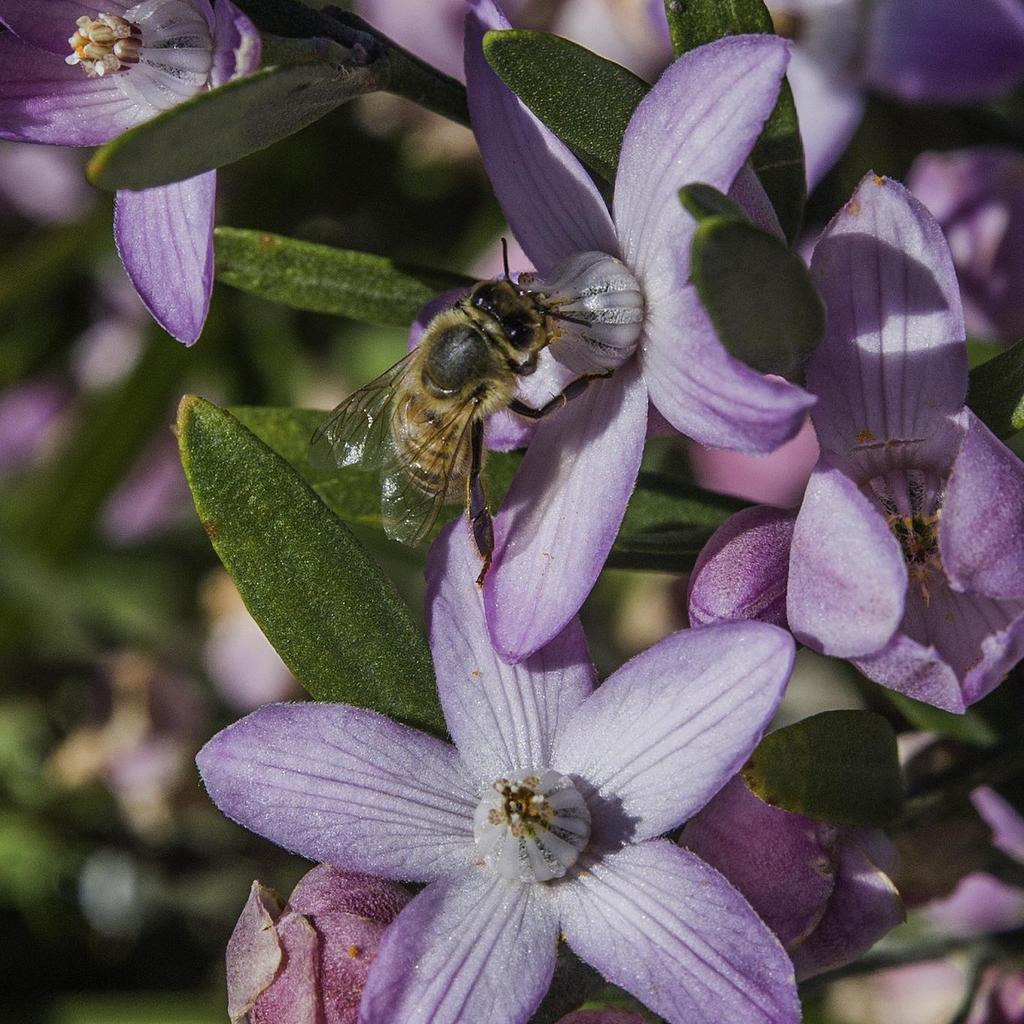 Eriostème, fleur de cire à longues feuilles (Philotheca myoporoides, syn. Eriostemon myoporoides, en anglais: Long leaf wax flower) 'Winter Rouge'