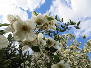 Multiplication de l'eucryphia