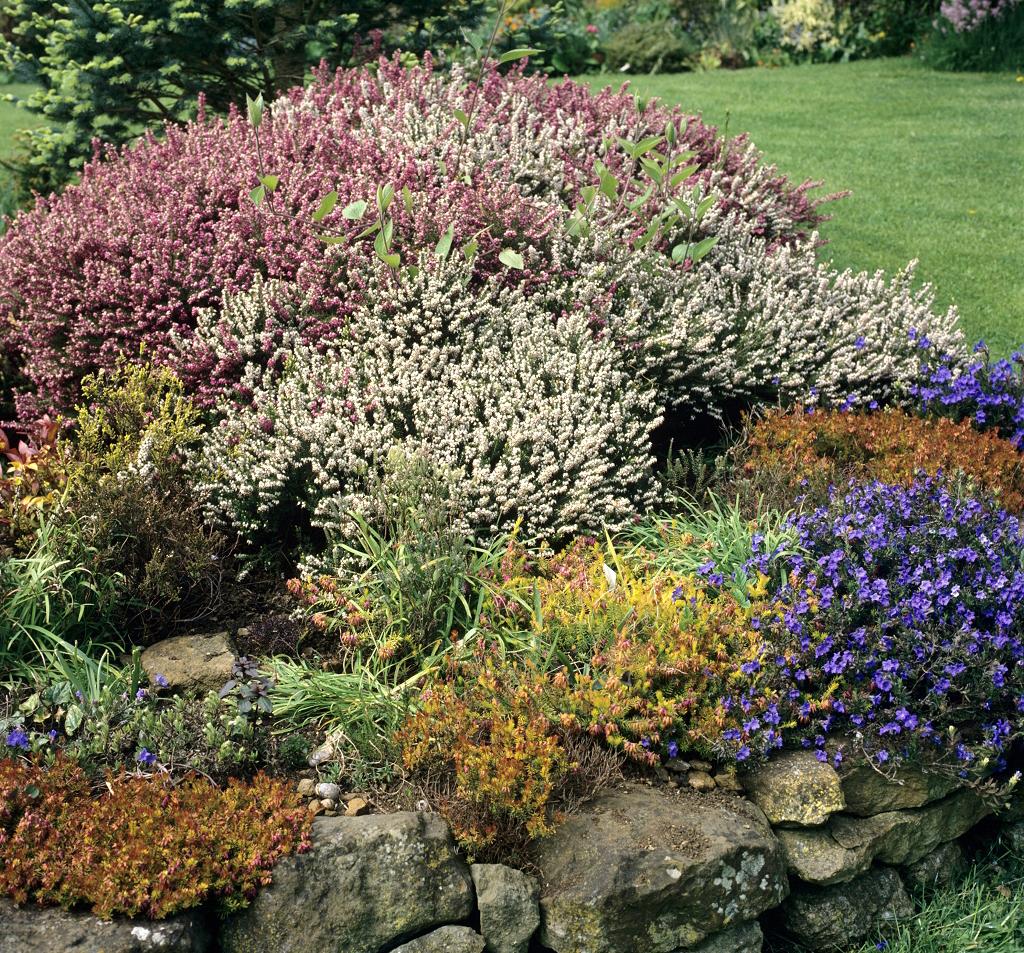 Bruyère commune : planter et tailler – Ooreka - Terre De Bruyère Pour Quelle Plante