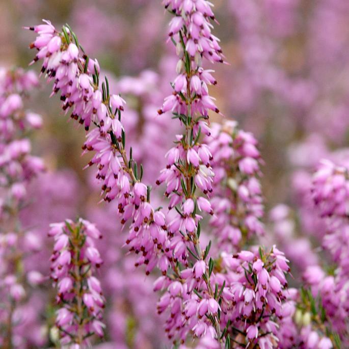 Variétés fleurissant en septembre-octobre 'Peter Sparkes'