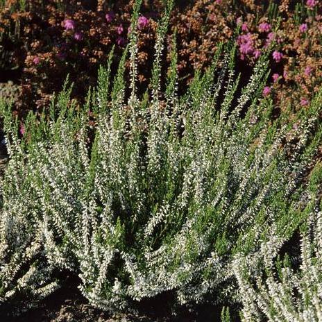 Variétés fleurissant en juillet-août 'Alba'