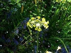 Plantation de <em>Primula florindae</em>