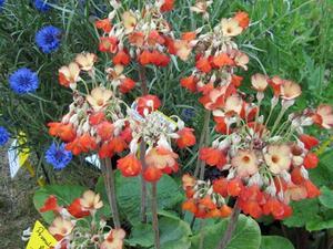 Culture et entretien de <em>Primula florindae</em>