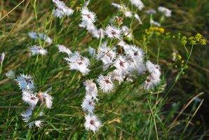 Culture et entretien de <em>Dianthus superbus</em>