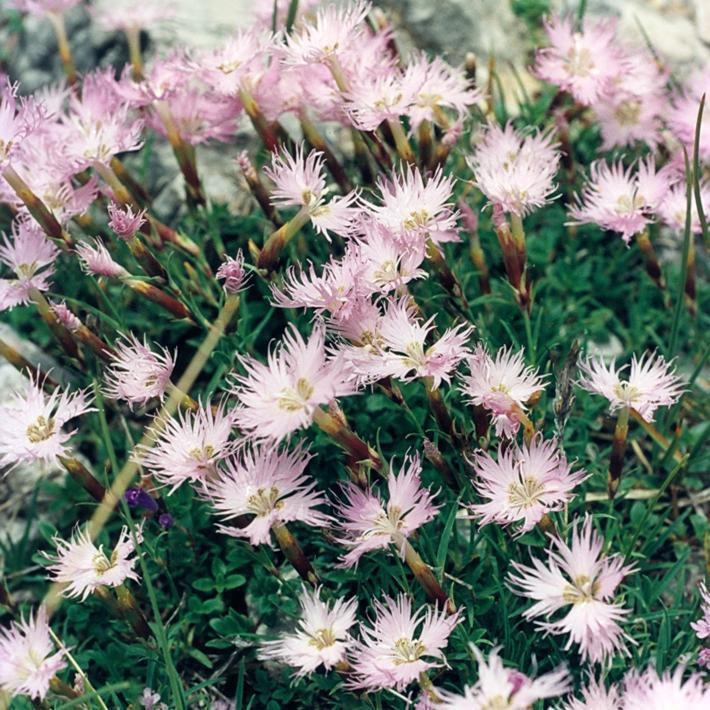 Œillet superbe, œillet à plumet, œillet magnifique (Dianthus superbus) Espèce type