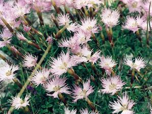 Multiplication de <em>Dianthus superbus</em>