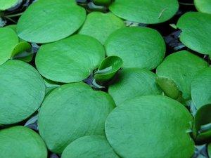Plantation de <em>Limnobium laevigatum</em>