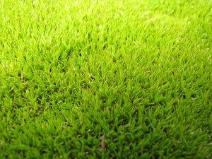 Plantation de <em>scleranthus uniflorus</em>