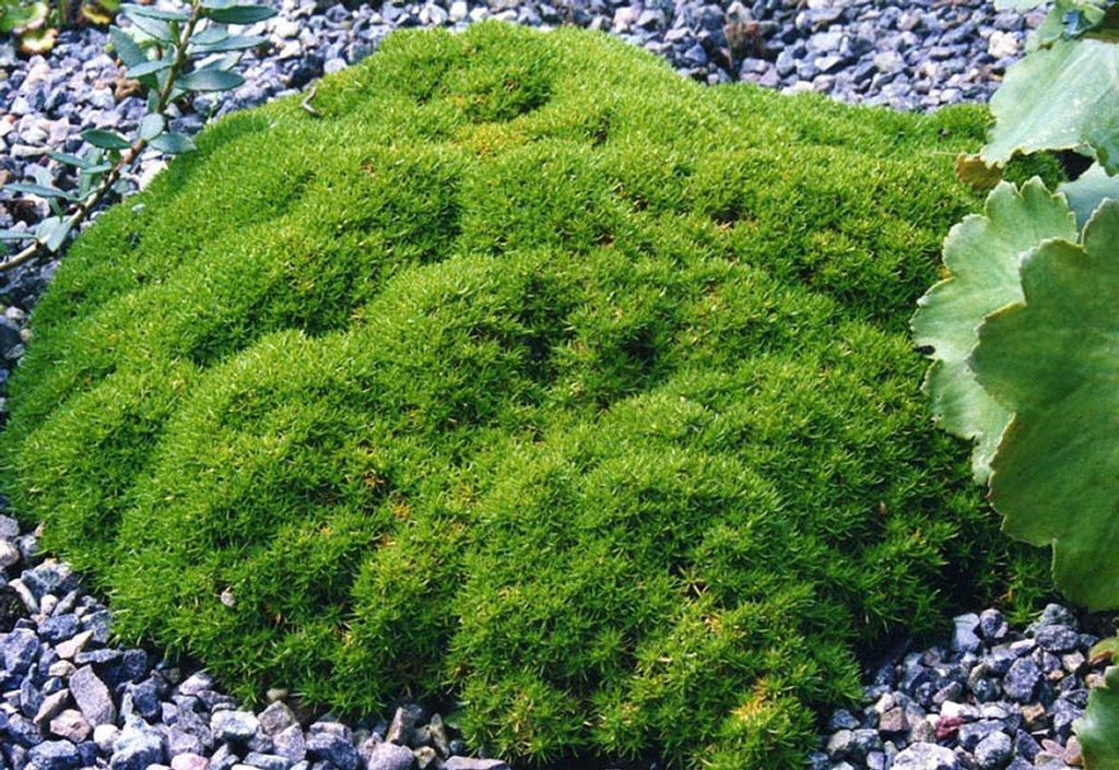 Scleranthus uniflorus planter et entretenir ooreka - Couvre sol jardin japonais ...