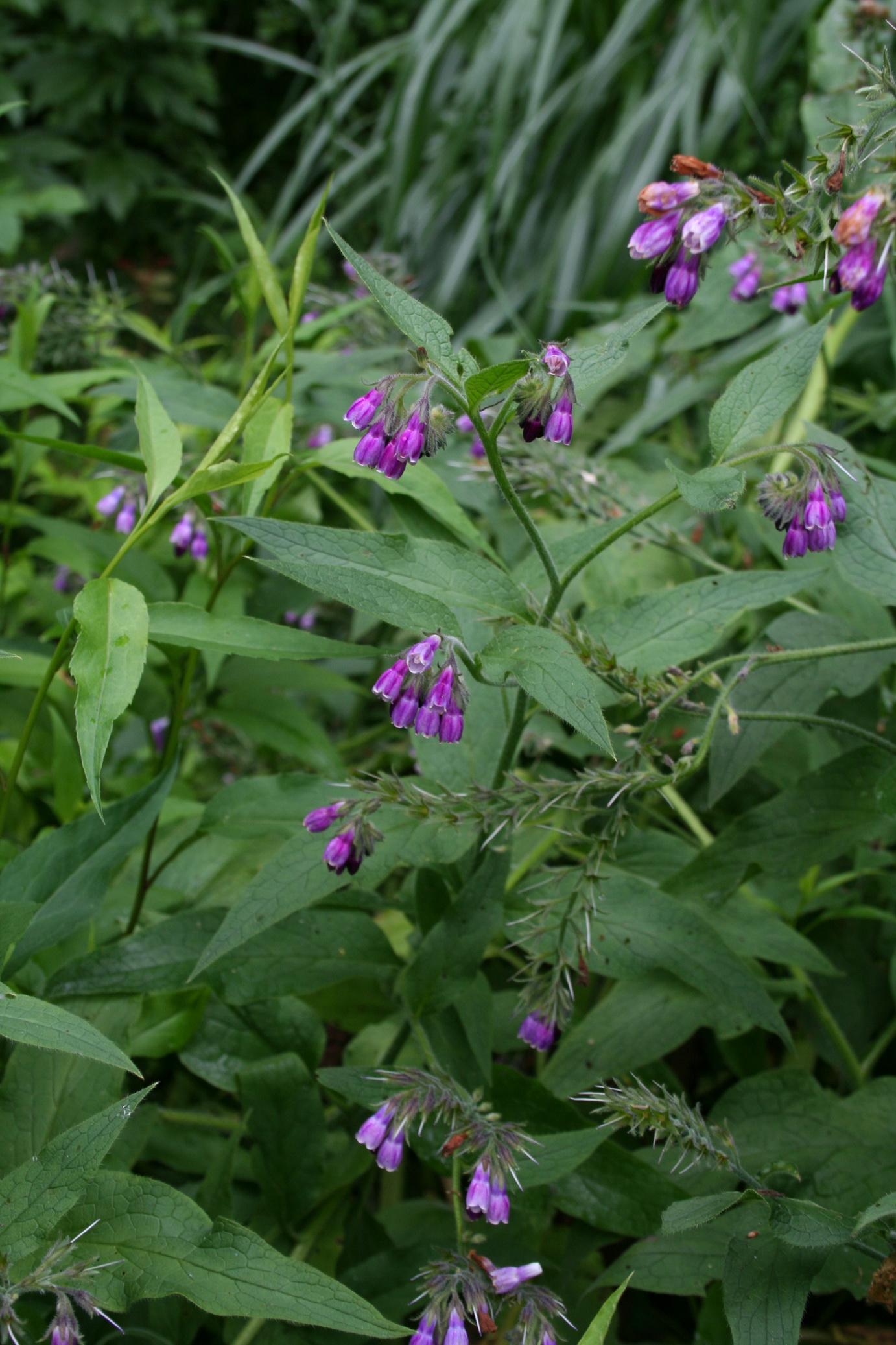 Consoude semer et planter ooreka for Plante utile