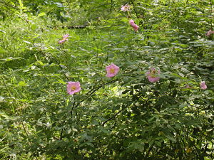 Multiplication de<em> Rosa palustris</em>
