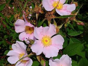 Plantation de <em>Rosa palustris</em>