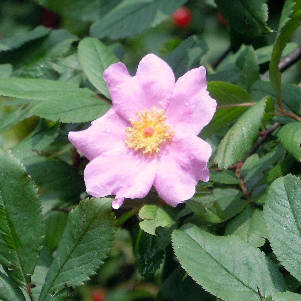 Rosier des marais (Rosa palustris)