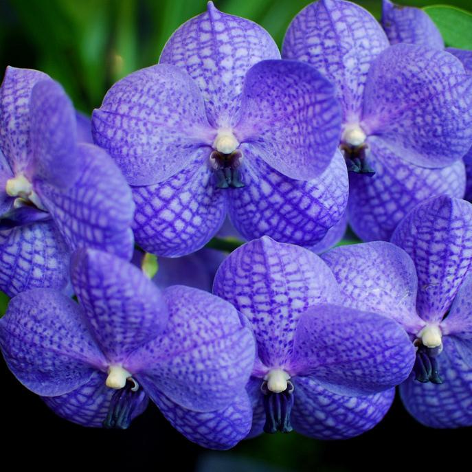 Vanda botaniques Vanda bleue (Vanda coerulea)