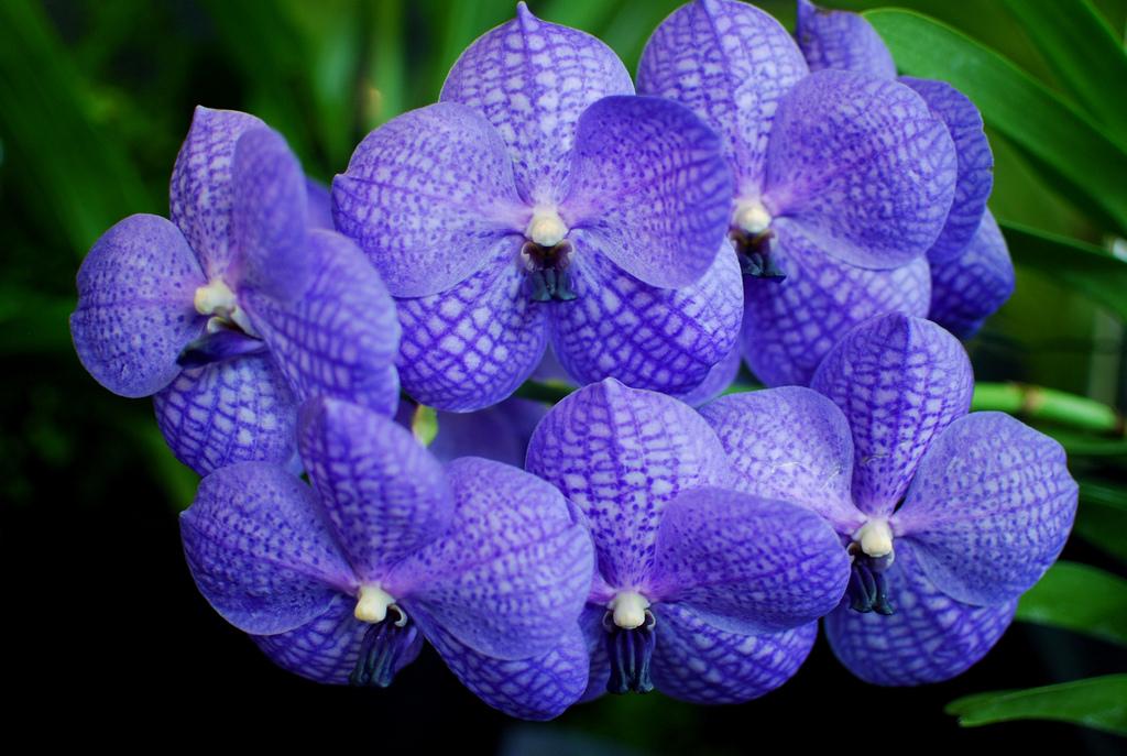 orchidee bleue naturelle vanda
