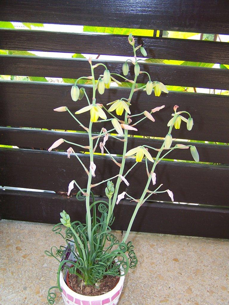 albuca spiralis planter et cultiver ooreka. Black Bedroom Furniture Sets. Home Design Ideas