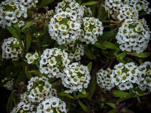 Lobularia maritima planter et cultiver ooreka - Quand planter la lavande ...