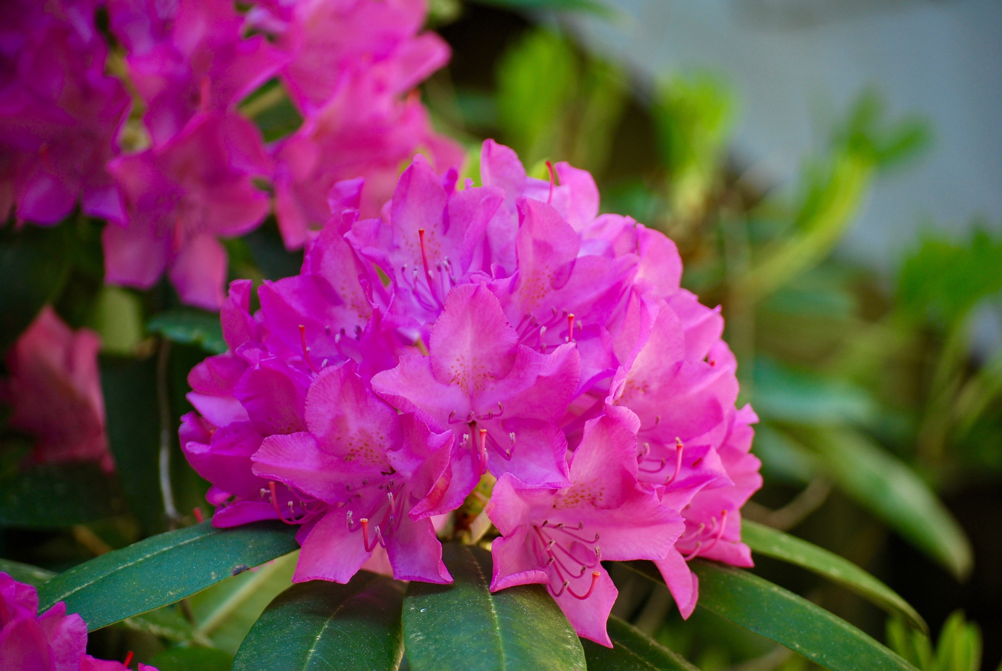 Azal e planter et tailler ooreka for Acheter les plantes