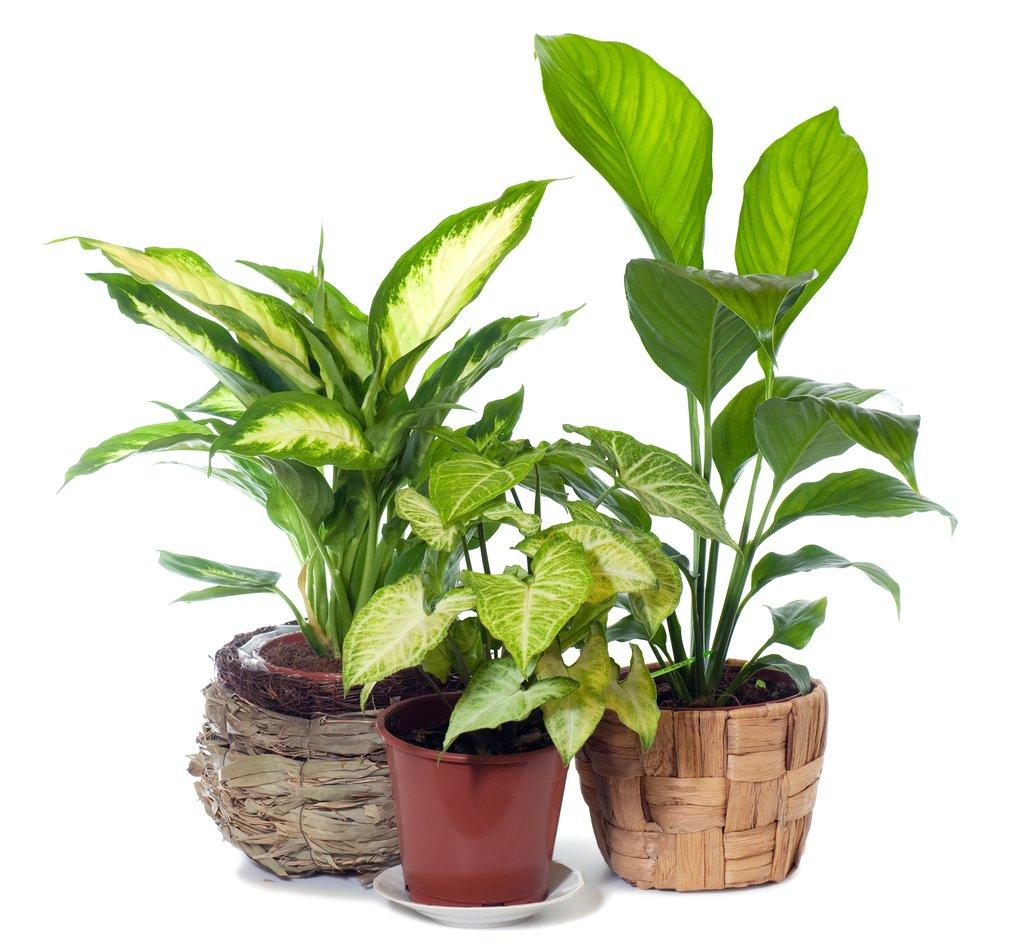 Plante D Intérieur A Faire Pousser dieffenbachia : cultiver et entretenir – ooreka
