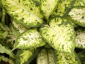 Multiplication du dieffenbachia