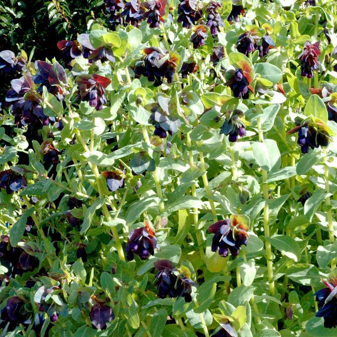 Grande cérinthe (Cerinthe major) Espèce type