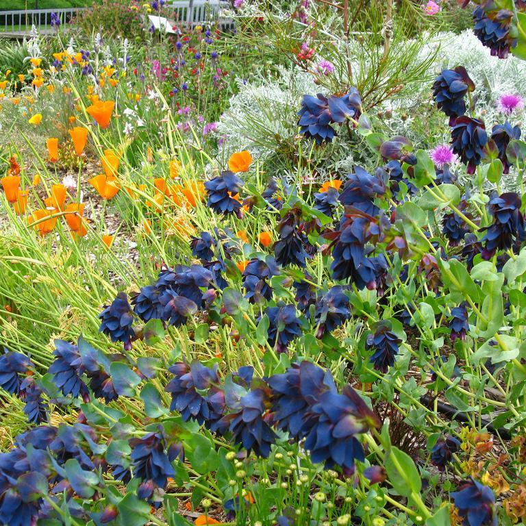 Grande cérinthe (Cerinthe major) 'Purpurascens' ou 'Atropurpurescens'