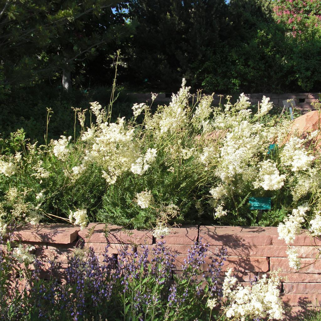 Filipendula vulgaris, syn. Filipendula hexapetala Espèce type