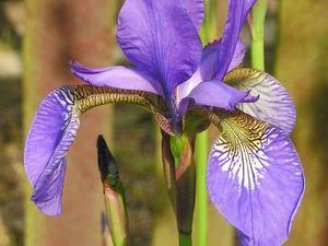 Iris versicolor planter et entretenir ooreka for Entretien iris jardin